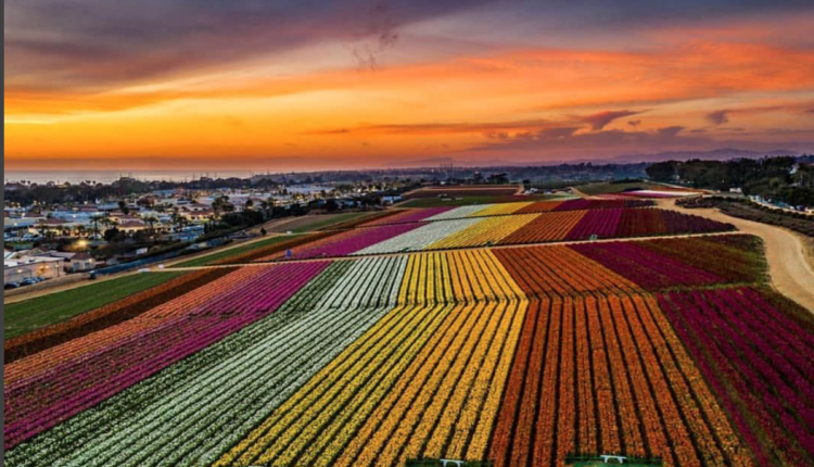 The Flower Fields at Carlsbad Ranch