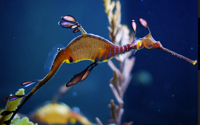 Birch Aquarium Seadragons & Seahorses